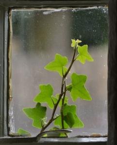17_Ivy_leaf[1]