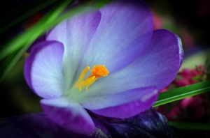 25_Simple_Crocus[1]