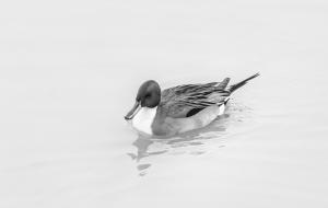 Comm _duckie Julie Kaye