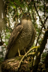 Print_Sparrowhawk in woodland_233